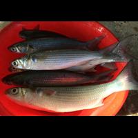Cá đối Mục