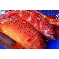 Cá mú đỏ tươi sống